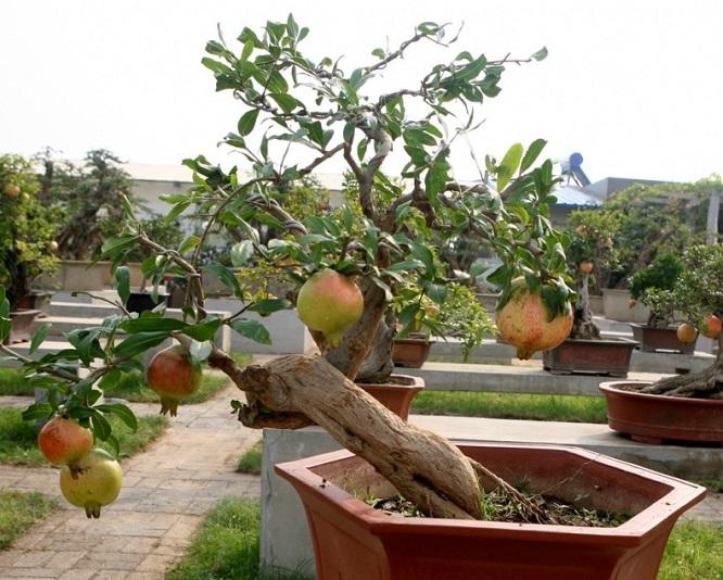 石榴盆景制作与养护