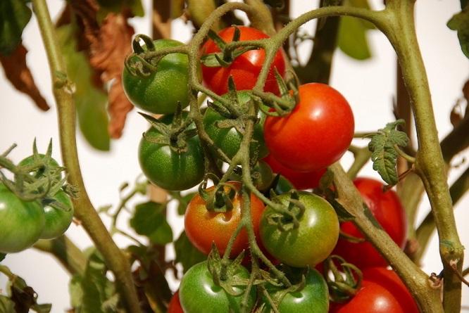阳台怎么种西红柿?阳台西红柿的种植方法