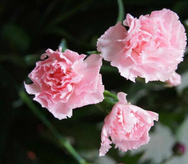 粉色康乃馨的花语