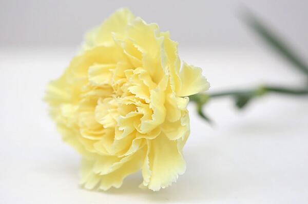 黄色康乃馨的花语