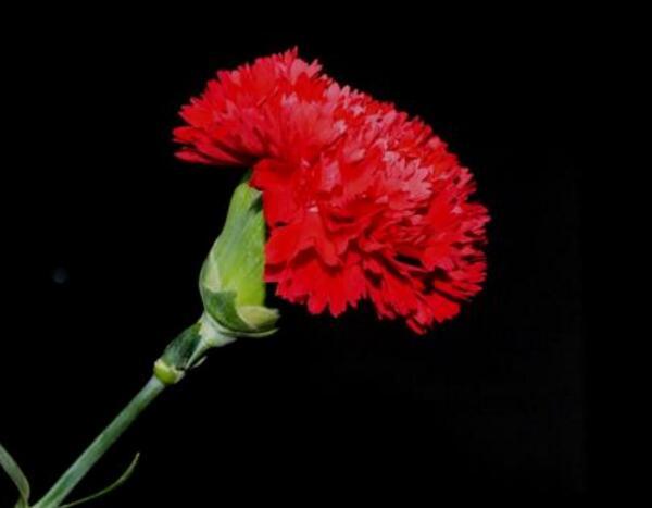 红色康乃馨的花语
