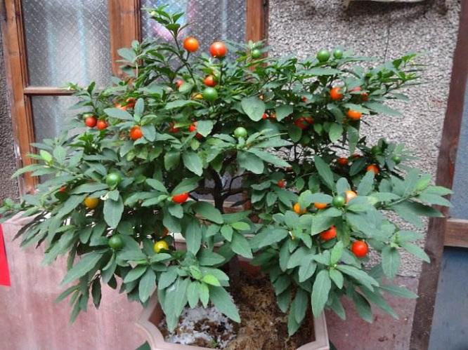 冬天家中养几盆红果盆栽,红火又喜庆!