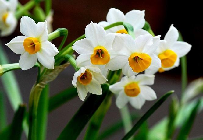 水仙花有毒吗?养殖水仙花有什么禁忌