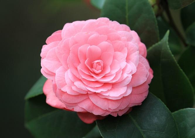 茶花的花语是什么?