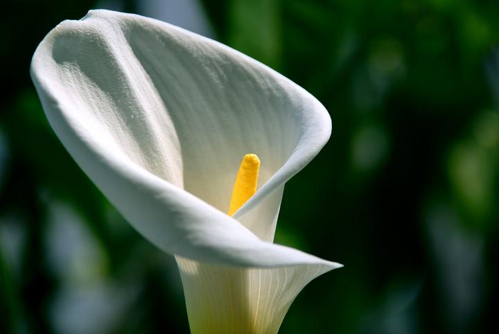 马蹄莲的花语是什么?