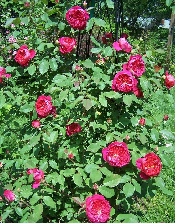 灌木月季——本杰明·布里顿(Benjamin Brittenl)