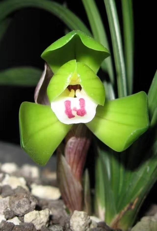 兰花出花苞后怎么护理才能开花?