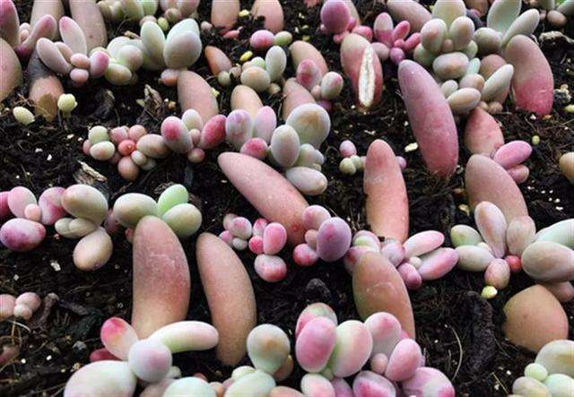 多肉叶插大约多少天能发芽?