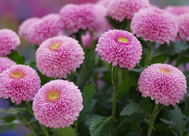 乒乓菊花凋谢后怎样培养能再次开花?