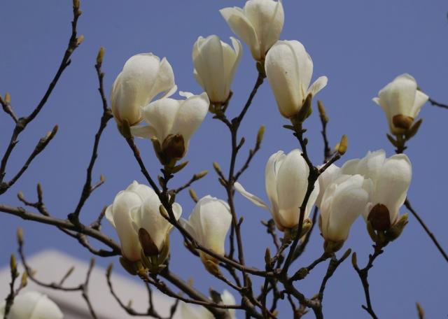白玉兰的花语