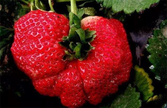 草莓生长畸形是什么原因?草莓畸形果的预防措施