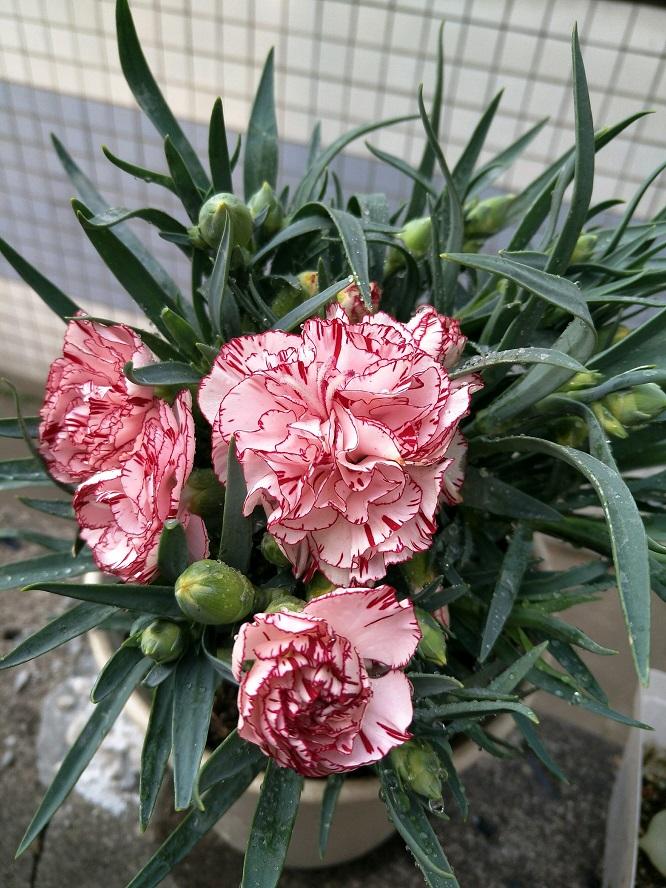 康乃馨和石竹怎么区分