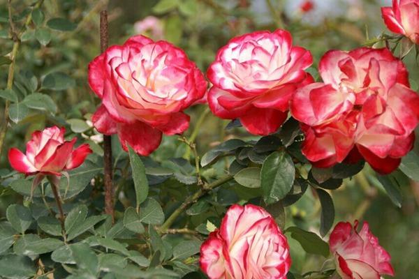 月季花——摩纳哥公爵(Cherry Parfait)