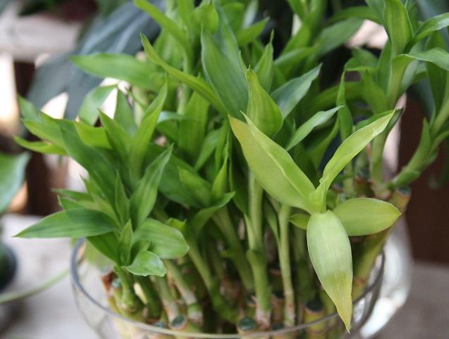 富贵竹冬季养护注意事项