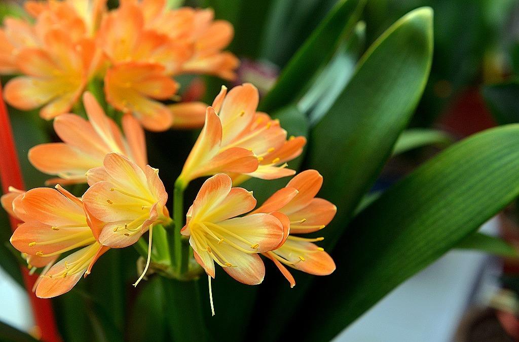 过年养这几种开花的植物!春节也能开花不断!