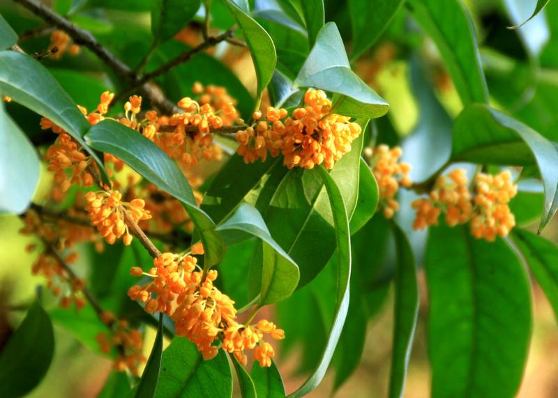 金桂花树的养殖方法和注意事项