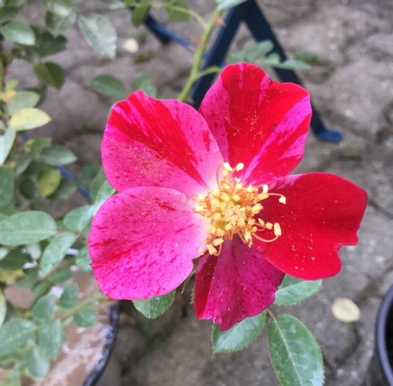 月季花——红宝石(Ruby)