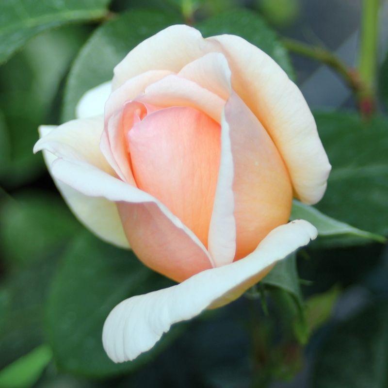 月季花——纯品康纳(Tropicana)