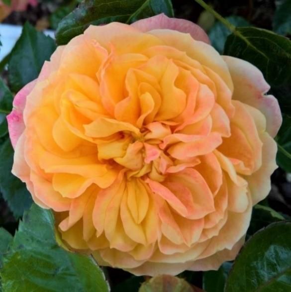 月季花——太阳红(Sunblush)