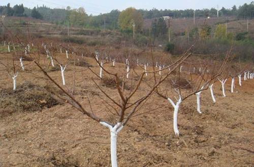 北方种植番石榴树怎么防冻?