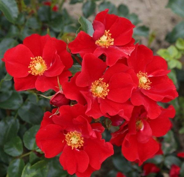 灌木月季——亚历山大·冯·洪堡(Alexander von Humboldt)