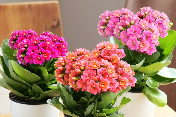 长寿花不开花怎么办