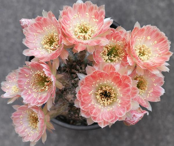 仙人掌科多肉植物开花,简直美爆了!