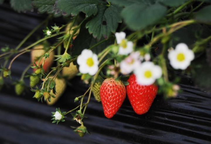 草莓常见病虫害防治技术