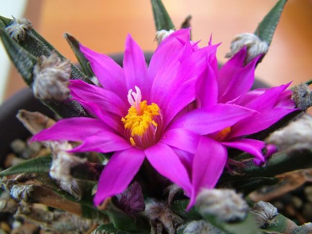 龙舌兰牡丹(Ariocarpus agavoides)