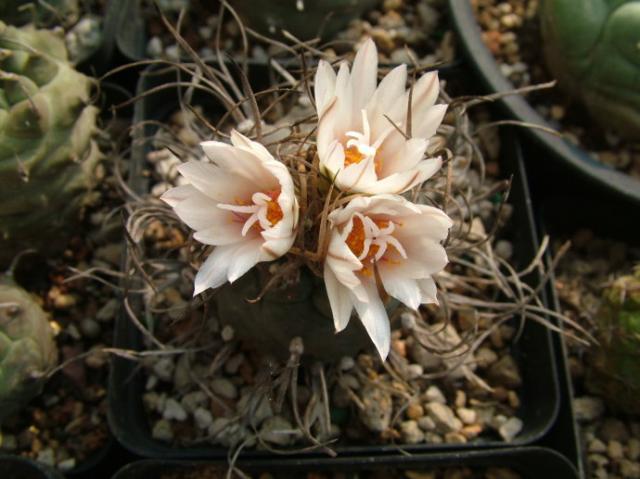 牙城丸 Turbinicarpus macrochele