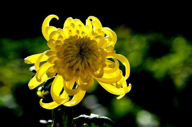 黄菊花的花语