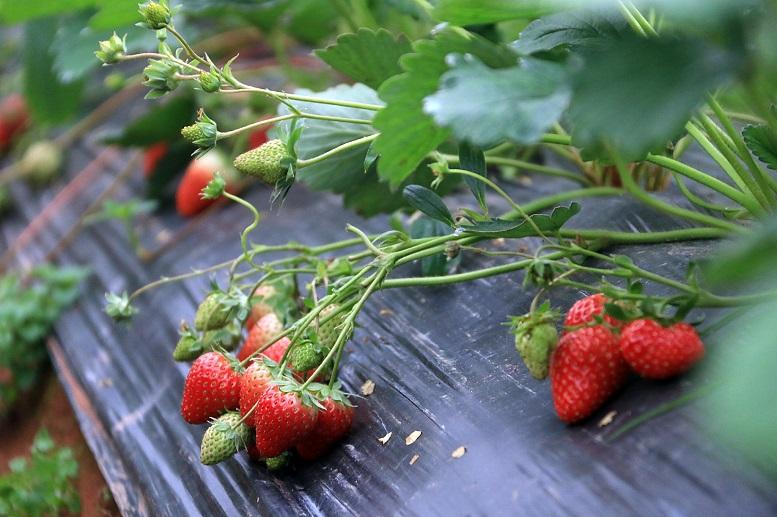 草莓育苗夏季管理技术要点