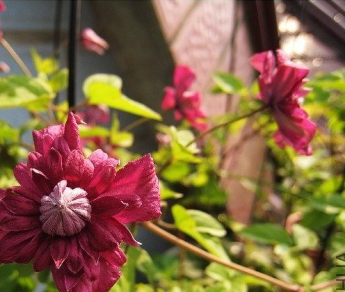 铁线莲——典雅紫 Purpurea Plena Elega
