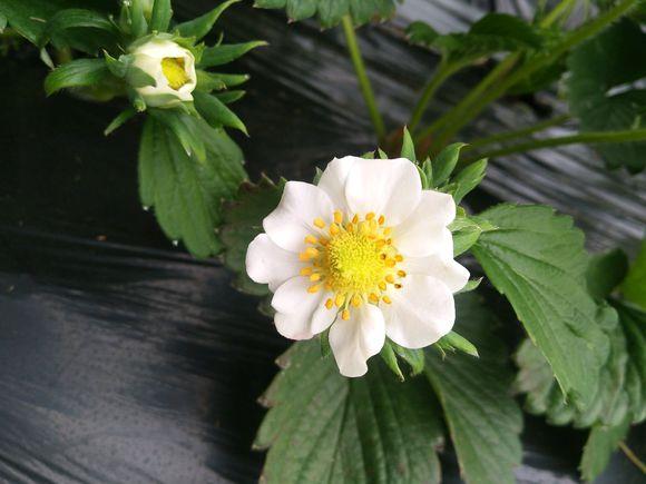 草莓雌花和雄花的区别