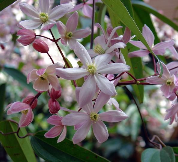 铁线莲——苹果花 Apple Blossom