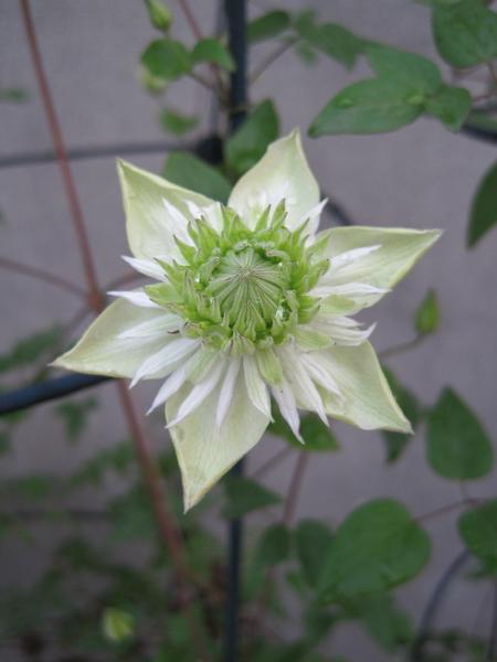 铁线莲——绿玉 Florida var. flore-pleno('Alba Plena')