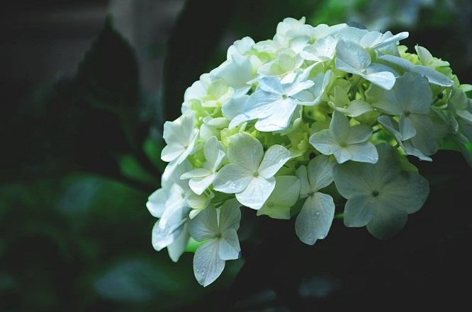 绣球花的花语是什么?希望、美满、团圆