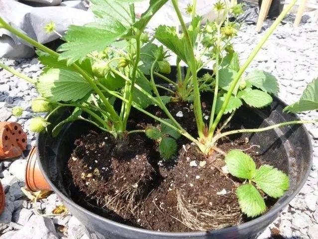 家庭盆栽种植草莓的方法