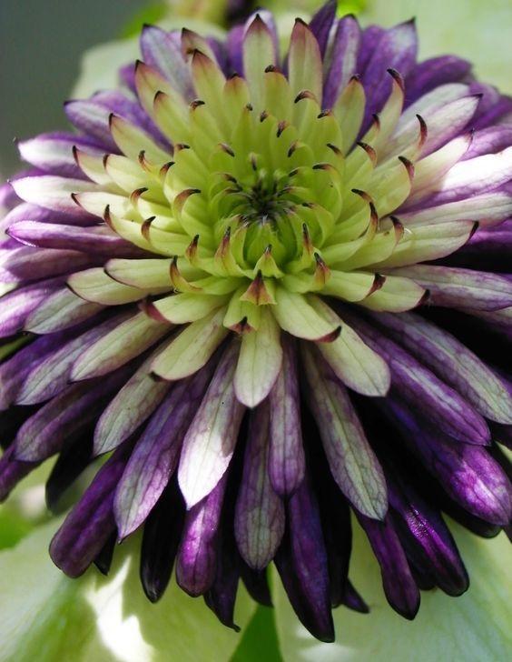 铁线莲——新幻紫 Viennetta