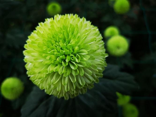 乒乓菊的花期什么时候?(秋季8~10月开花)