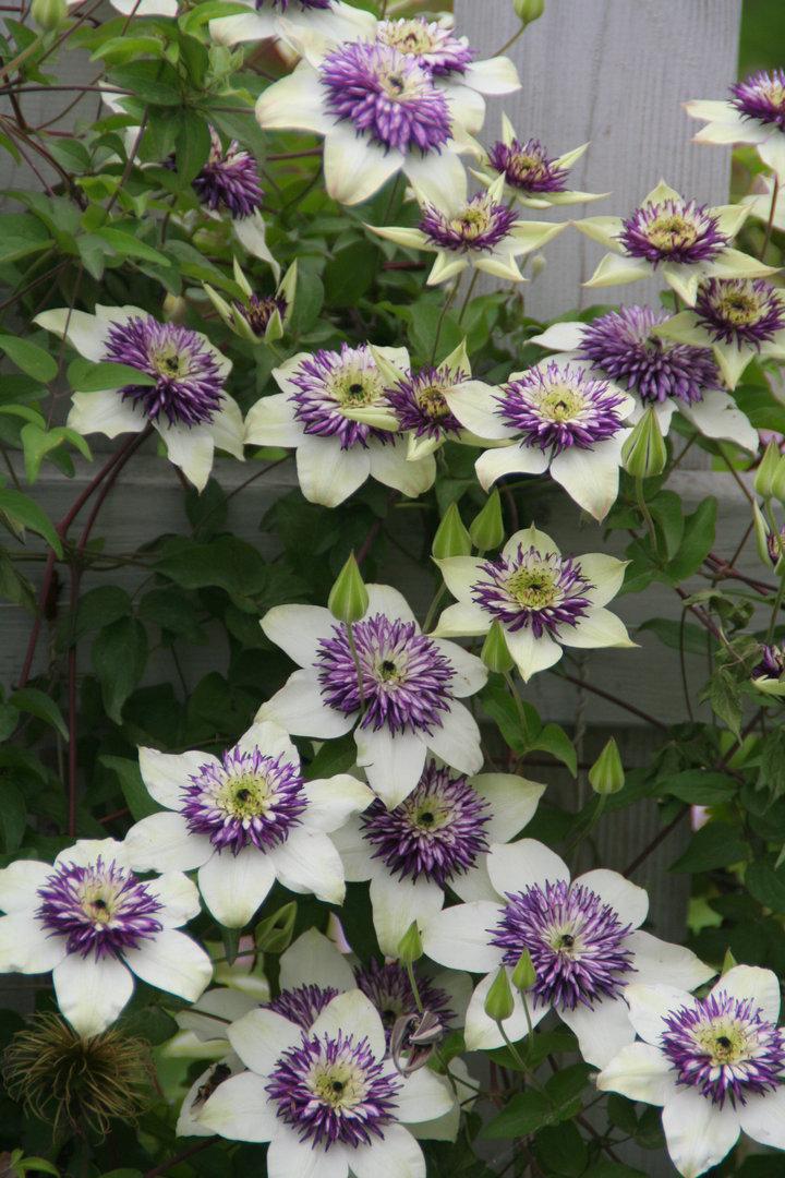 铁线莲——幻紫 Florida var. sieboldiana('Sieboldii')
