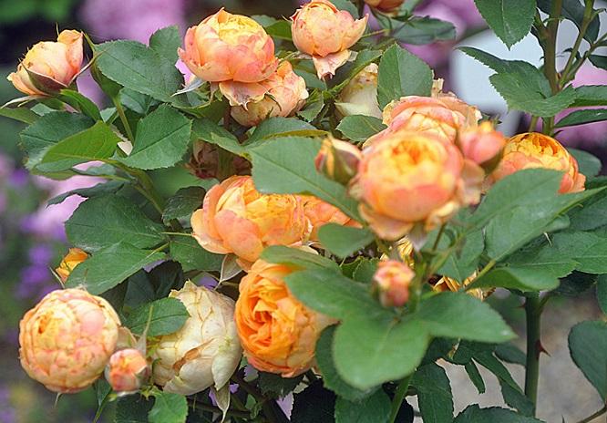 春季月季花的养护要点!
