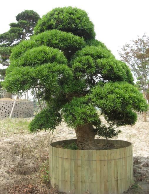 罗汉松黄叶怎么办?教你把罗汉松养的枝繁叶茂