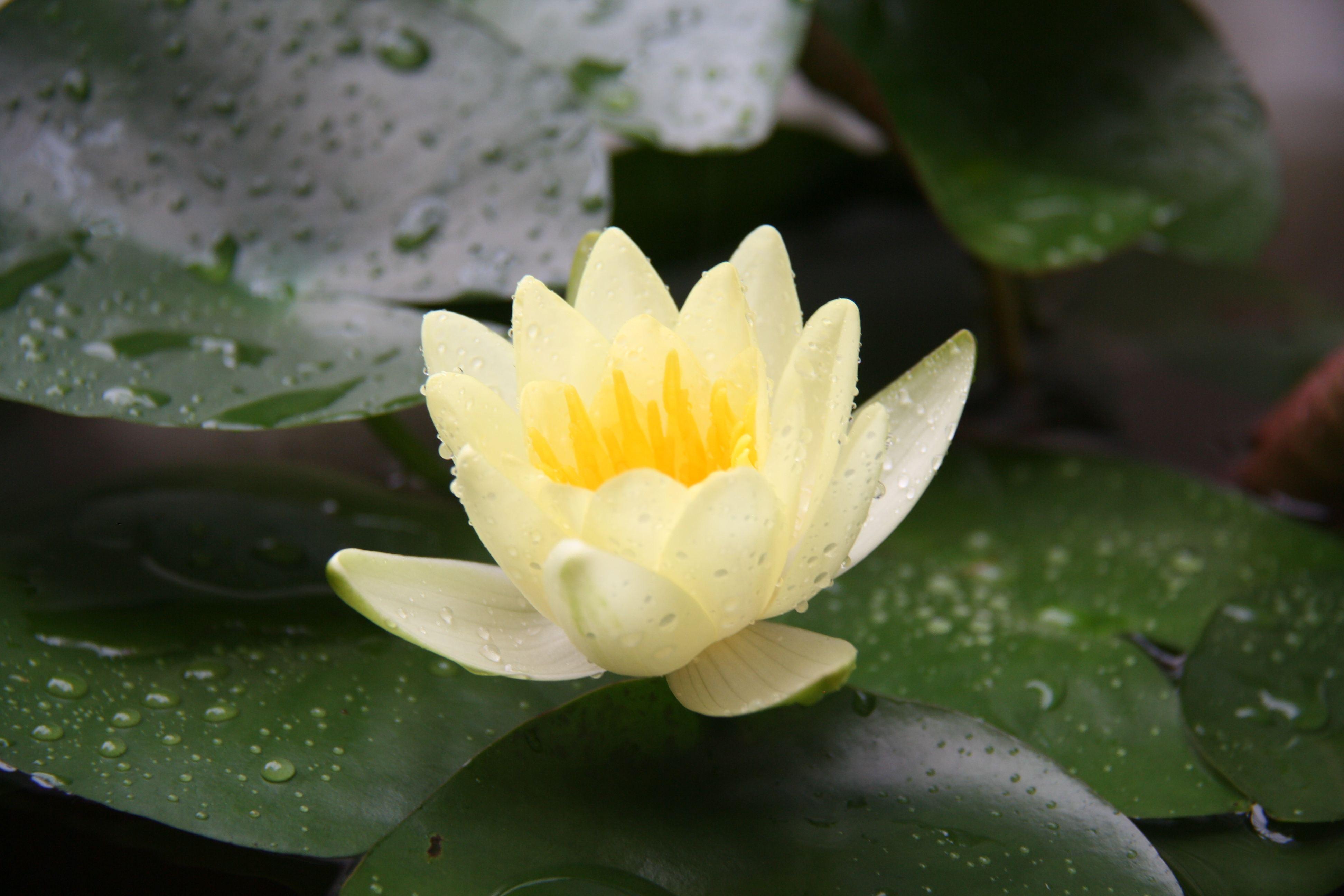 睡莲品种大全(25种)