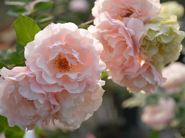 灌木月季——达芙妮(Daphne,ダフネ)