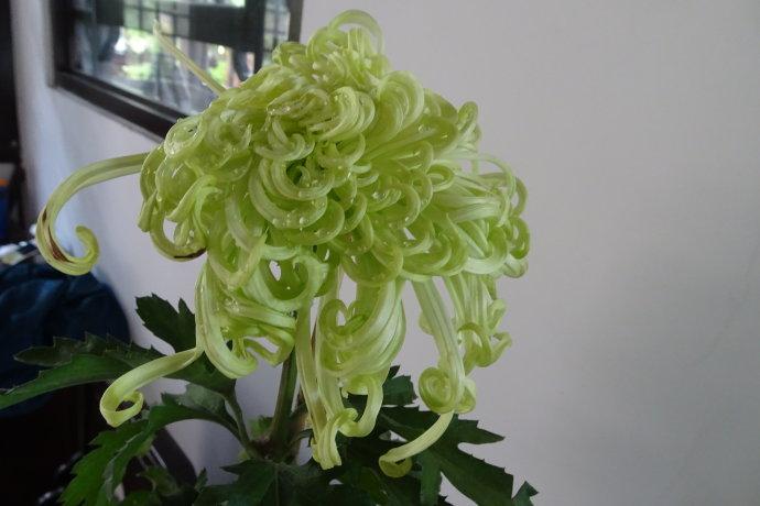 菊花——绿云