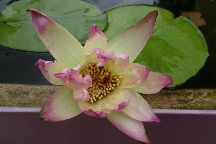睡莲——荧光黄 Nyphaea 'Swang Jitra'