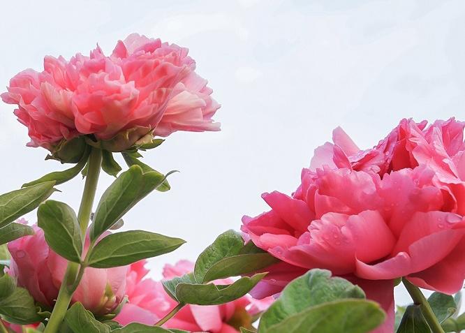 牡丹花什么时候种植最好?