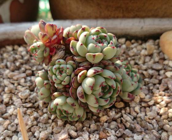 多肉植物原始姬莲和老版小红衣的区别