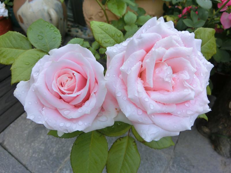 灌木月季——粉红雪山